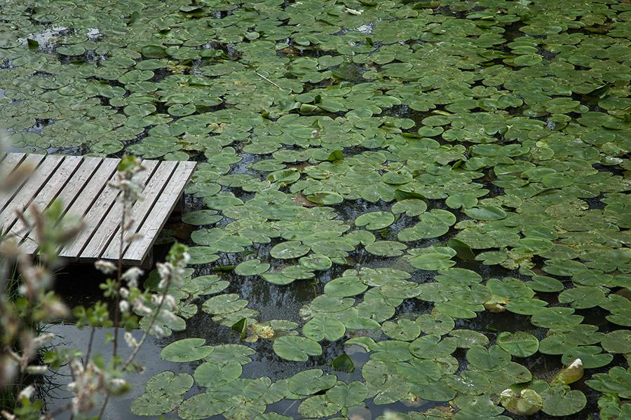 Lotus Water Lily